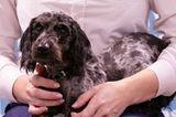 Hunderettung: Dackel mit Haarschnitt
