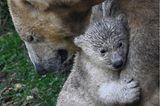 Tierbabys: Esibärjunges Kara mit Eisbärin Sessi
