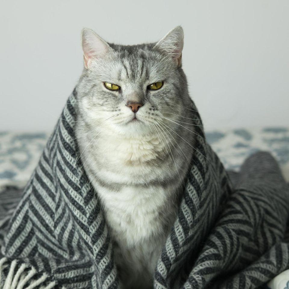 Kater statt Katze: Graue Katze unter Decke