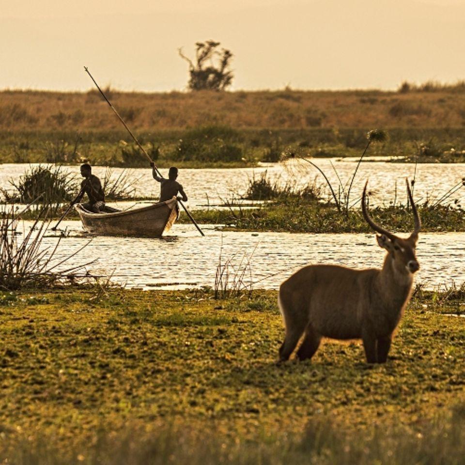 Uganda: Antilope im Nationalpark