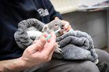 Tierbabys: Koalajungtier bekommt die Flasche