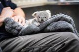 Tierbabys: Koalajungtier sitzt auf  dem Schoß