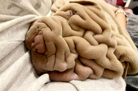 Tierbabys: Faltenhund liegt auf Decke