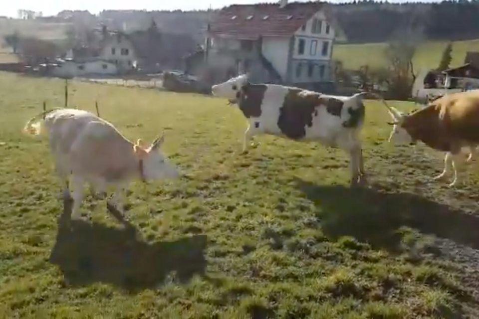 Glückliche Kühe auf Weide