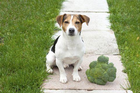 Darf ich meinen Hund vegetarisch ernähren?