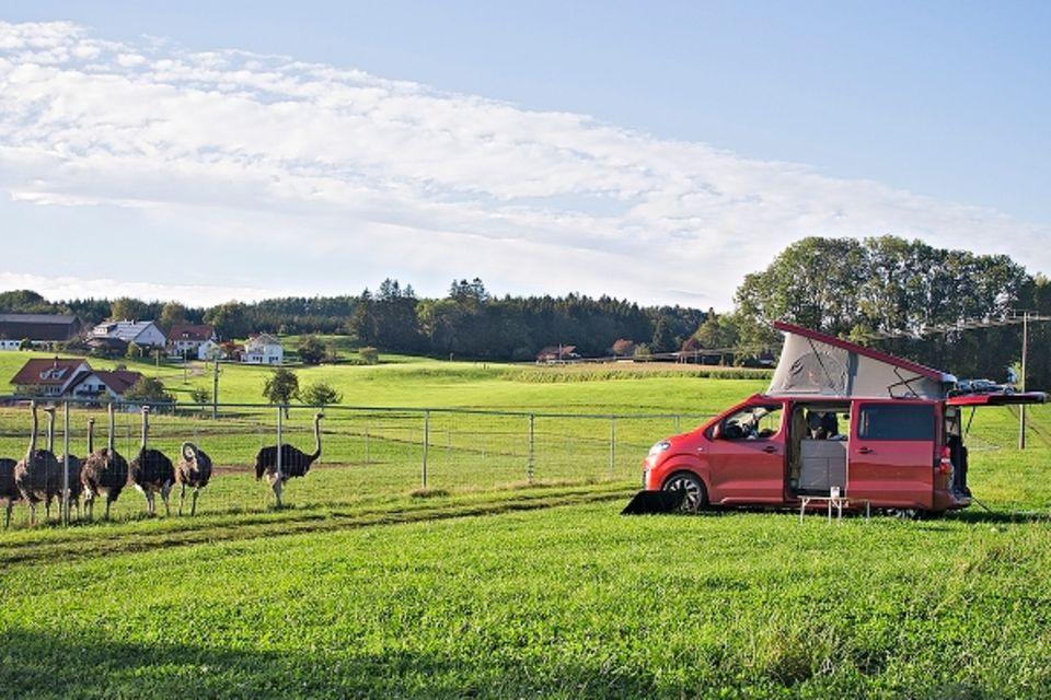 Camping am Bodensee: Campen vor der Straußenfarm