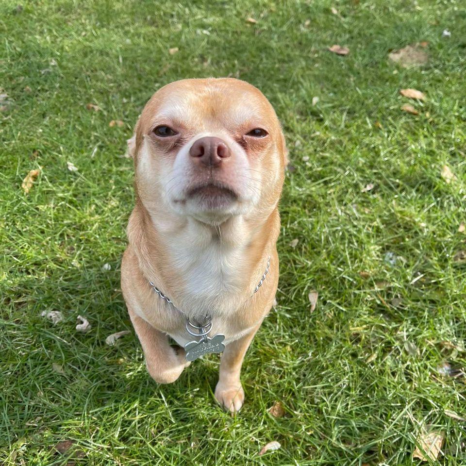 Dämonischer Chihuahua
