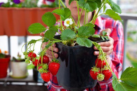 Erdbeeren im Balkon