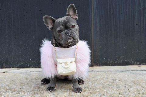 Haustiere: französische Bulldogge