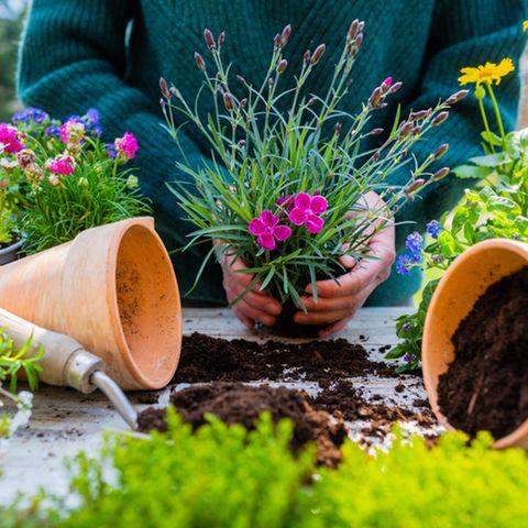 Ab ins Beet! Frau pflanzt eine Blume ein