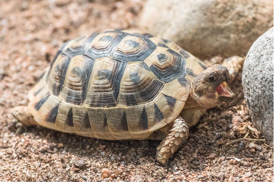 Skurriler Unfall: Schildkröte