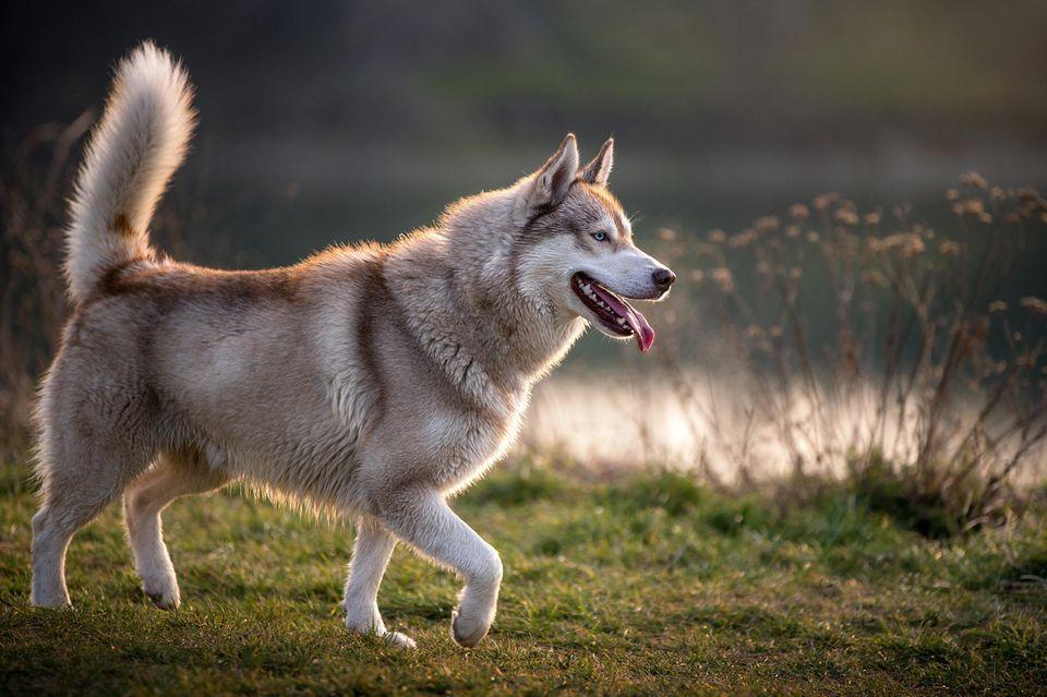 Husky-Hündin Hel findet ein Neugeborenes im Park: Husky