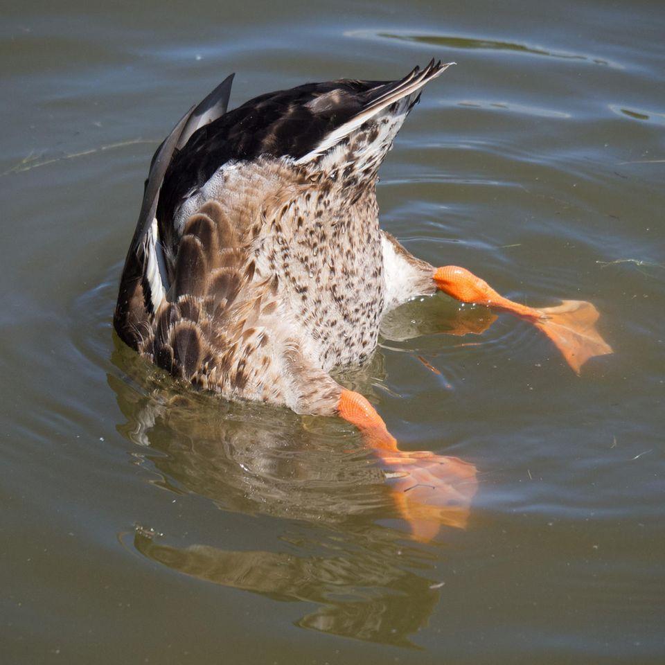 Riesen-Ente: Ente die abtaucht