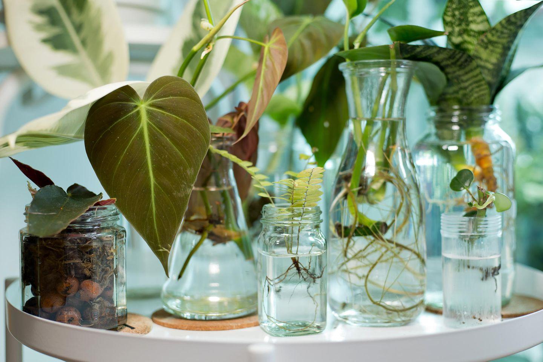 Water Plants: Zimmerpflanzen im Wasser