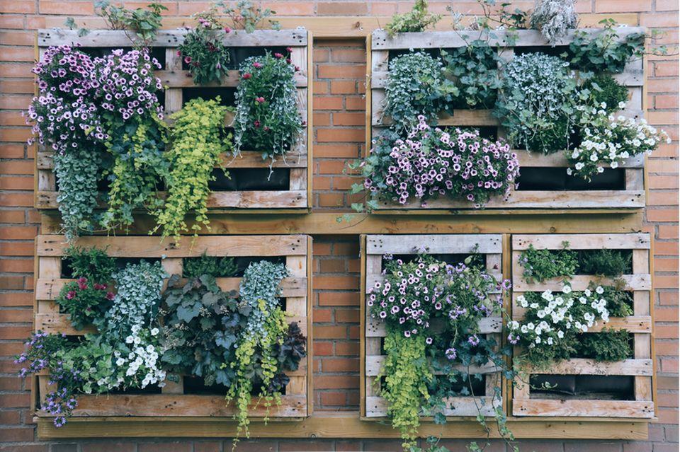 Vertikaler Garten auf dem Balkon: Paletten mit Pflanzen