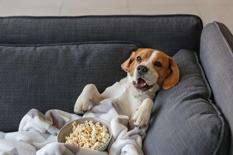 hund mit popcorn, beagle, hund auf der couch