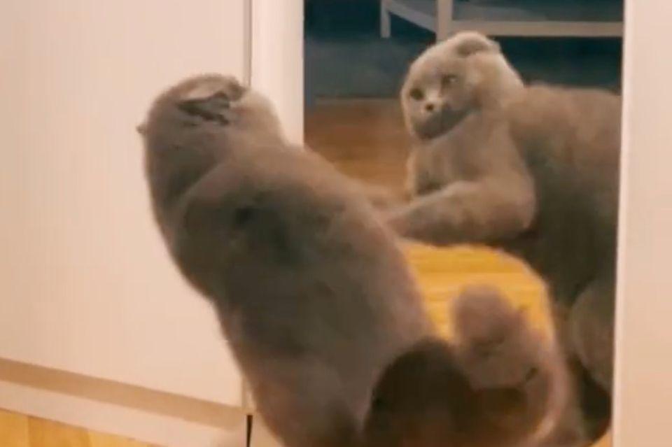 Katze kämpft mit Spiegel