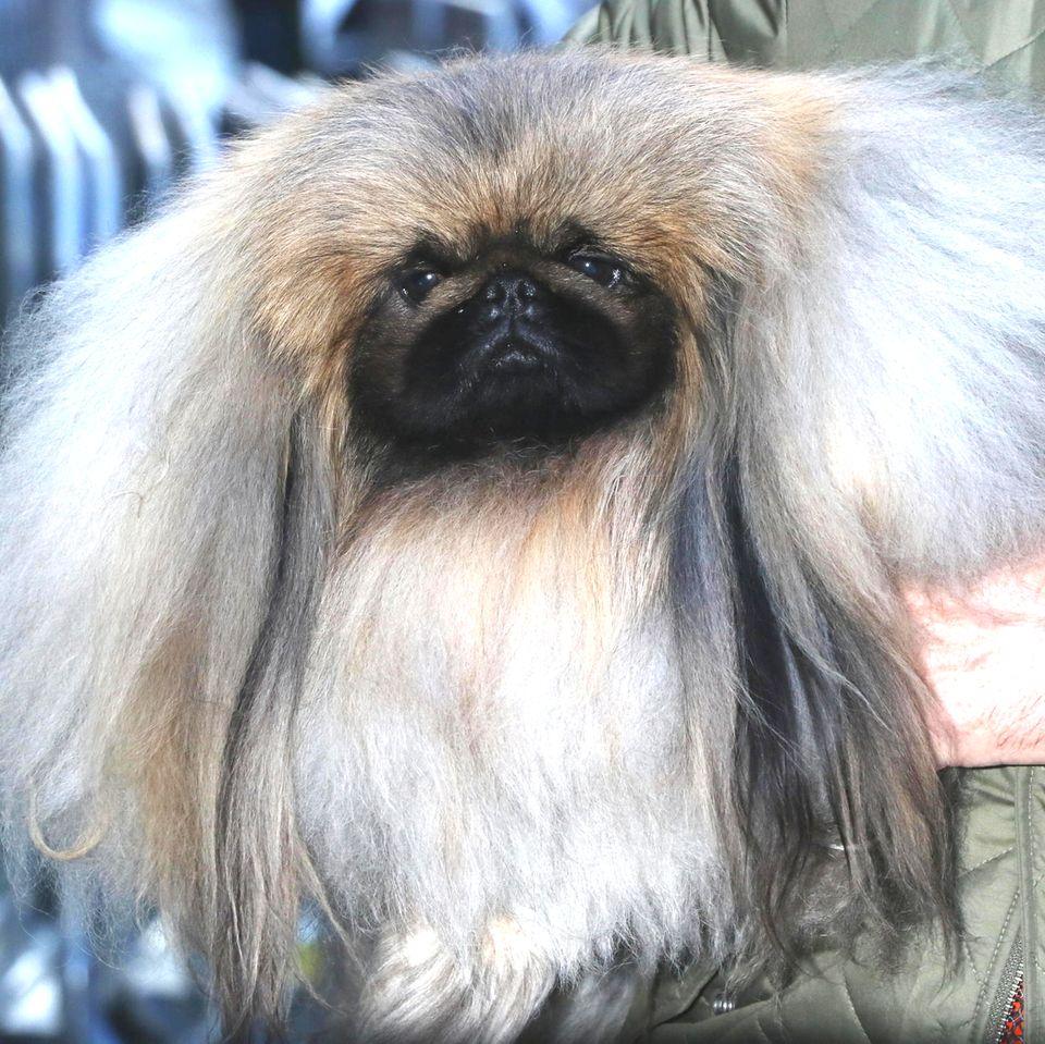 Schönster Hund der Welt ausgezeichnet