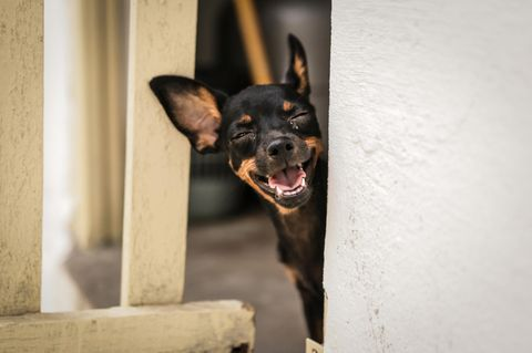 Comedy Pet Photo Award 2021: grinsender Hund