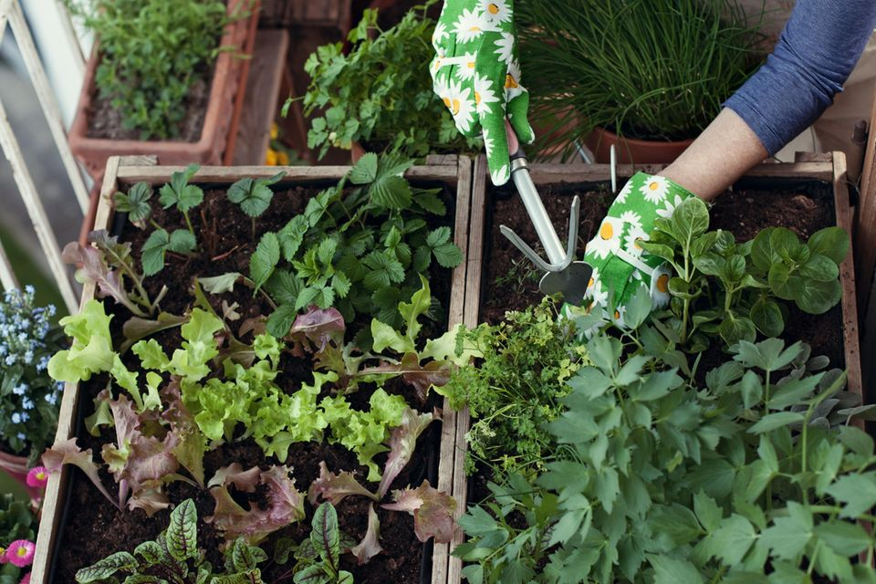 Hochbeet anlegen: Pflanzen im Beet werden gepflegt