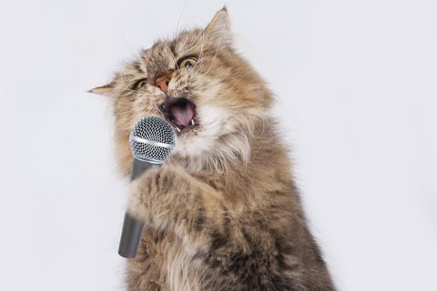 Singende Katze erobert das Netz