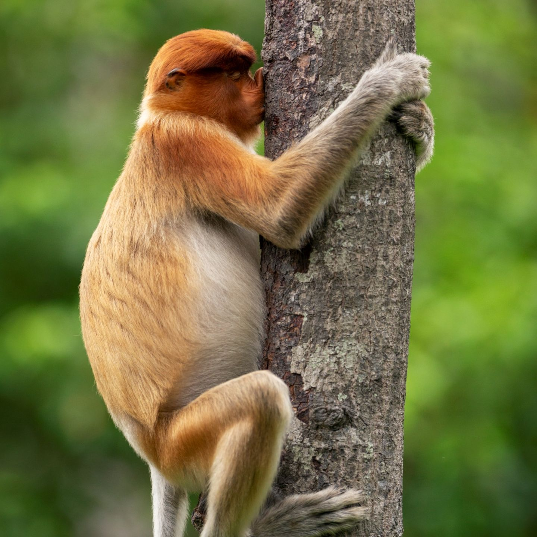 Comedy Wildlife Awards 2021: Affe auf Baum