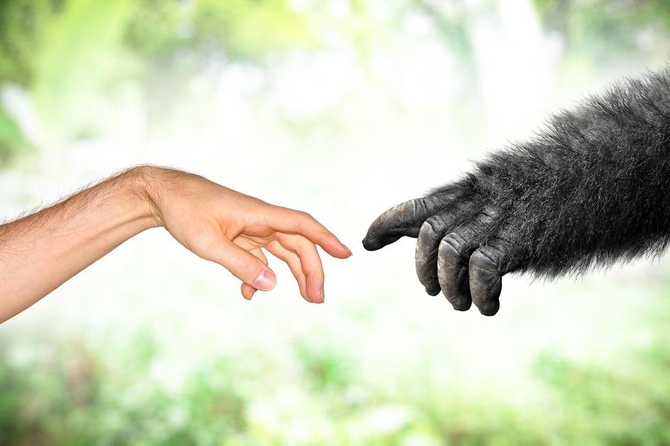 Eine Menschenhand und eine Affenhand berühren sich beinahe.