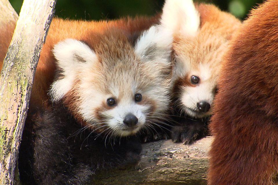 Zwei rote Babypandas kuscheln miteinander.
