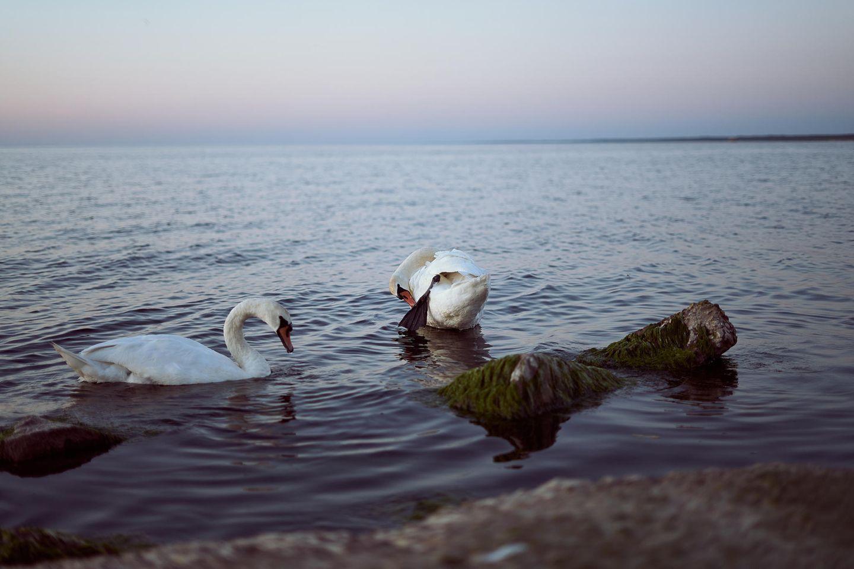 Beziehung: Schwäne auf dem Wasser